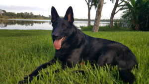 All black German Sheopherd dog with big, soft ears is Doc Truli's companion and muse