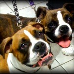 Two bright-eyed boxers look at the camera with tongues lolling happily