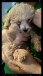 A slim steel acupuncture needle goes into a poodle puppy's hind paw in the web between the toes and he falls asleep!