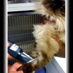 shaving the front leg of a himalayan cat