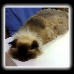 sedated seal-point himalayan cat