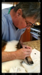 This Sheltie's dad wore scrubs for our house call and learned how to plave eye ointment under Doc Truli's direction.