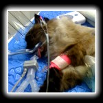 seal-point himalayan cat with monitoring equipment under anesthesia