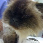 sedated seal-point himalayan cat, cream long poofy fur, mink brown face mask