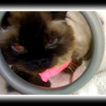 HImalayan cat looks a little sleepy after his dental cleaning