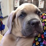 Soft, squishy mastiff puppy weighs almost 30 pounds at 11 weeks old!