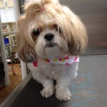Perky shoet-haired shih tzi stands with her front legs together and a Spring bandana festoons her neck.