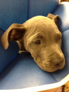 "tan american pit bull terrier puppy in a blue soft ""e"" collar"