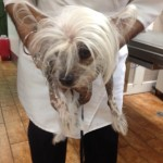 bald chinese crested dog with mop top hair and soft, warm bald body