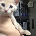 tan short-haired tabby kitten