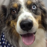 one blue eye and one brown eye are typical of a healthy australian shepherd dog