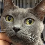 plush short-haired cat of russian blue descent shows off her green saucer-shaped eyes.