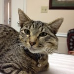 Stunning female 6-month old brown tabby cat needs a home