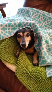 Dachshund hides under 4 blankets during pet house call