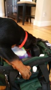 This 12 week old Rottweiler puppy buries her face in Doc Truli's bag looking for treats