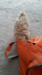 Fluffy 10 week old miniature Poodle puppy half way disappears in Doc Truli's bag