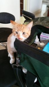 Teen-age tabby cat rubs his whiskers on the zippered edge of Doc Truli's bag