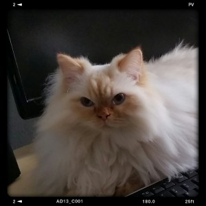 Flame point long-haired cat sits on his mom's computer keyboard and waits for his holistic annual exam/