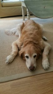16-year-old Golden Retriever lays flat on her belly
