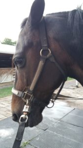 Beautiful, calm, friendly, cookie-monster horse waits patiently for acupuncture