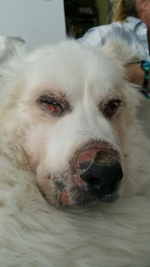 "Crusted, bald, bloody swathes of sticky hot hairlessness crust this shaggy 100 pound Great Pyrenees' around his nose, eyes and mouth and some ""private parts."""