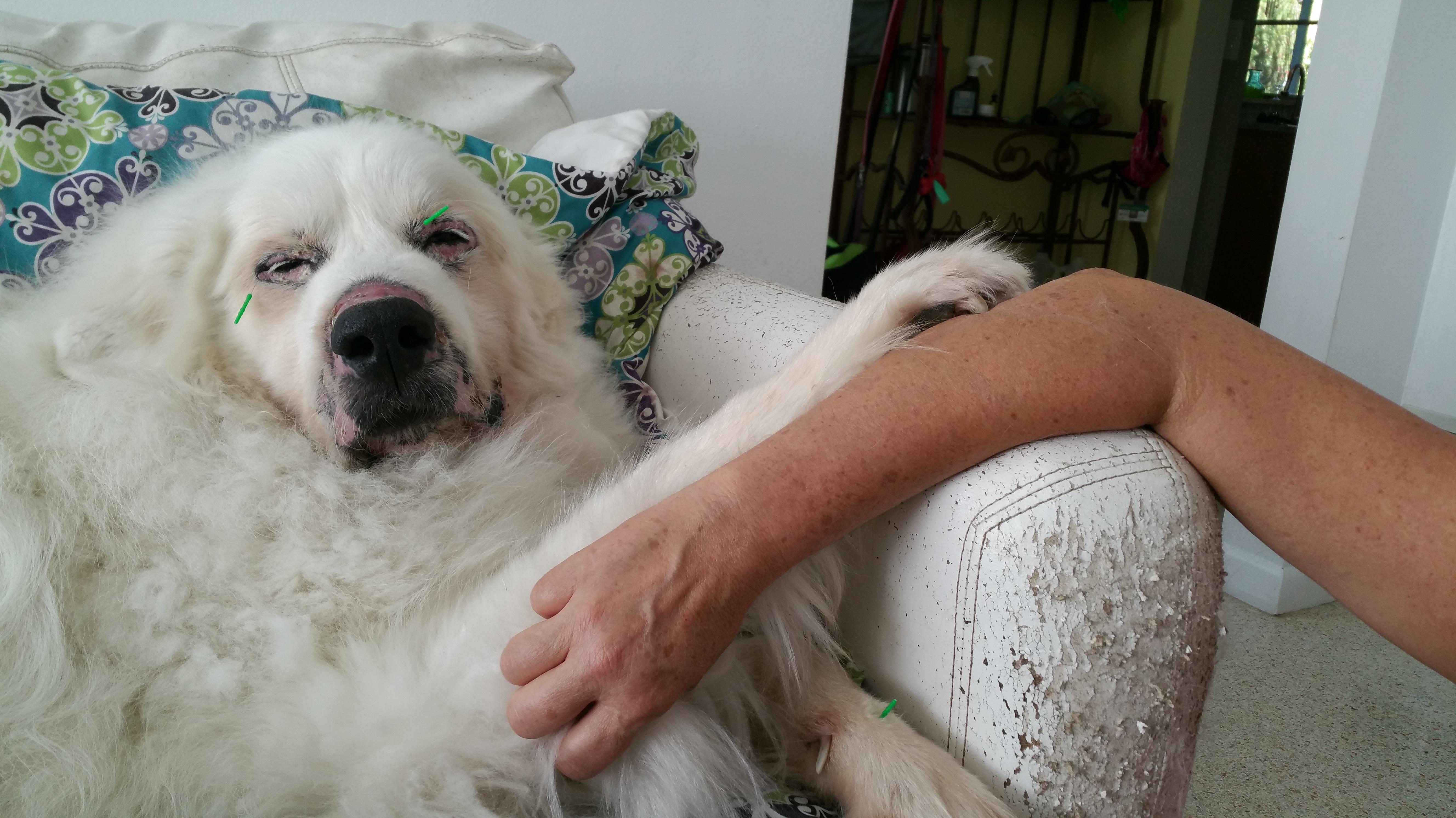 Dog Skin Tcvm Dr Sandra Truli Springer Holistic Vet