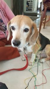 Wires and needles cover this Beagle undergoing acupuncture treatment.