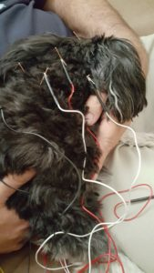 Needles and wires cover this little Terrier mix dog for her electro-acupuncture neck treatment