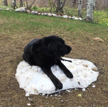 This gigantic black labrador retriever cannot get cool. He is laying on the last remaining chunk of snow in the yard after the winter thaw.